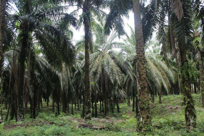 O oleju palmowym, zdrowiu i środowisku