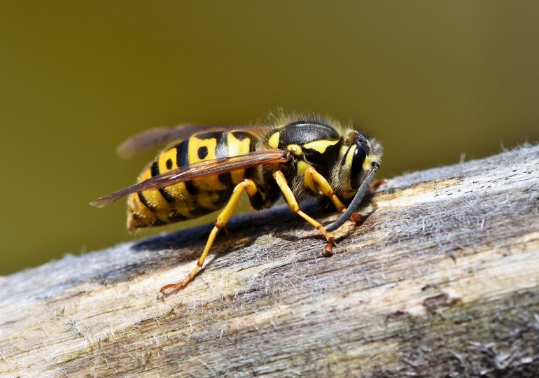Leczenie alergii na jad owadów żądlących w dobie COVID-19 nie powinno być przerywane